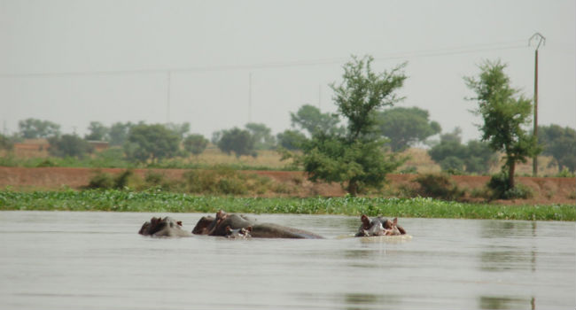 Omar and hippos from the Niger river